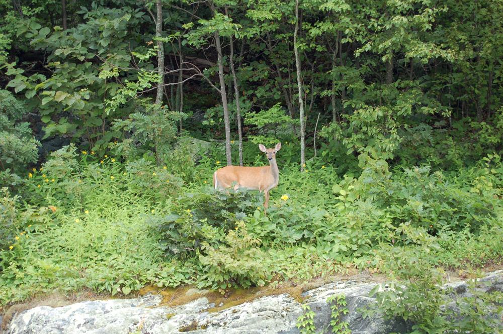 blueridge_deer