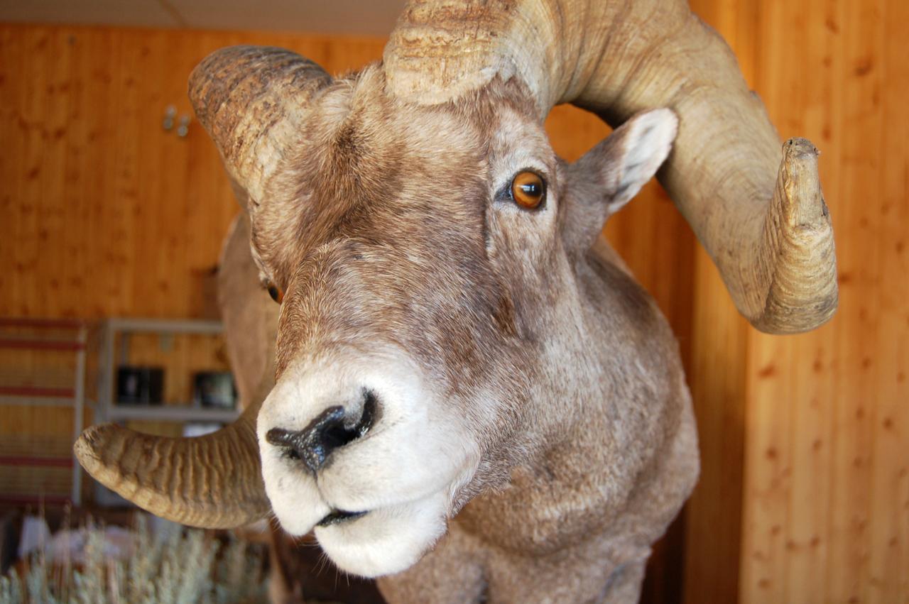 Stuffed Big Horn