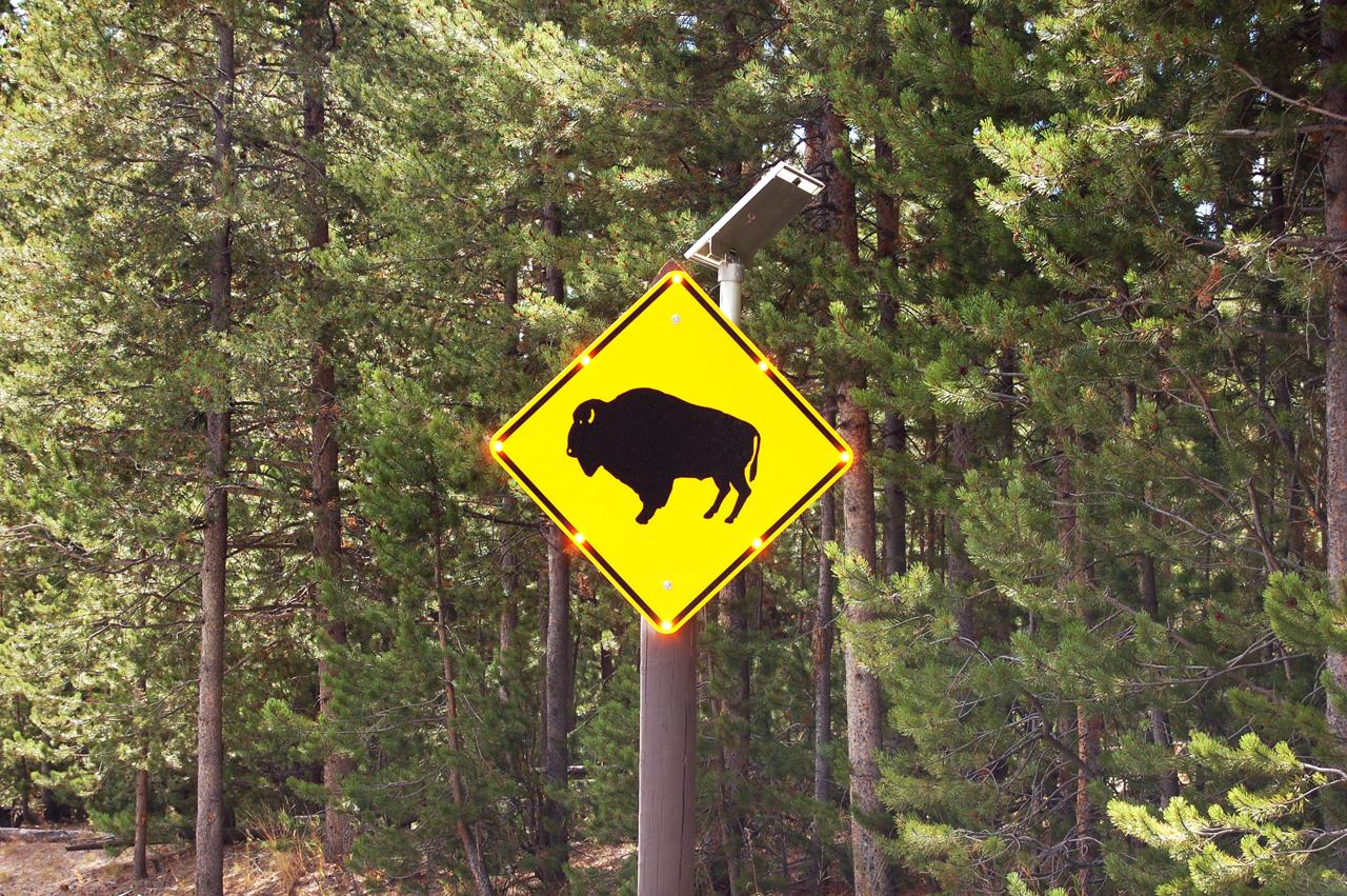 138_buffalo_1