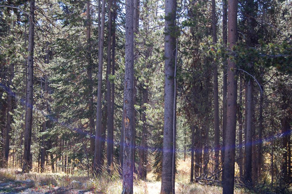 50_pines_1