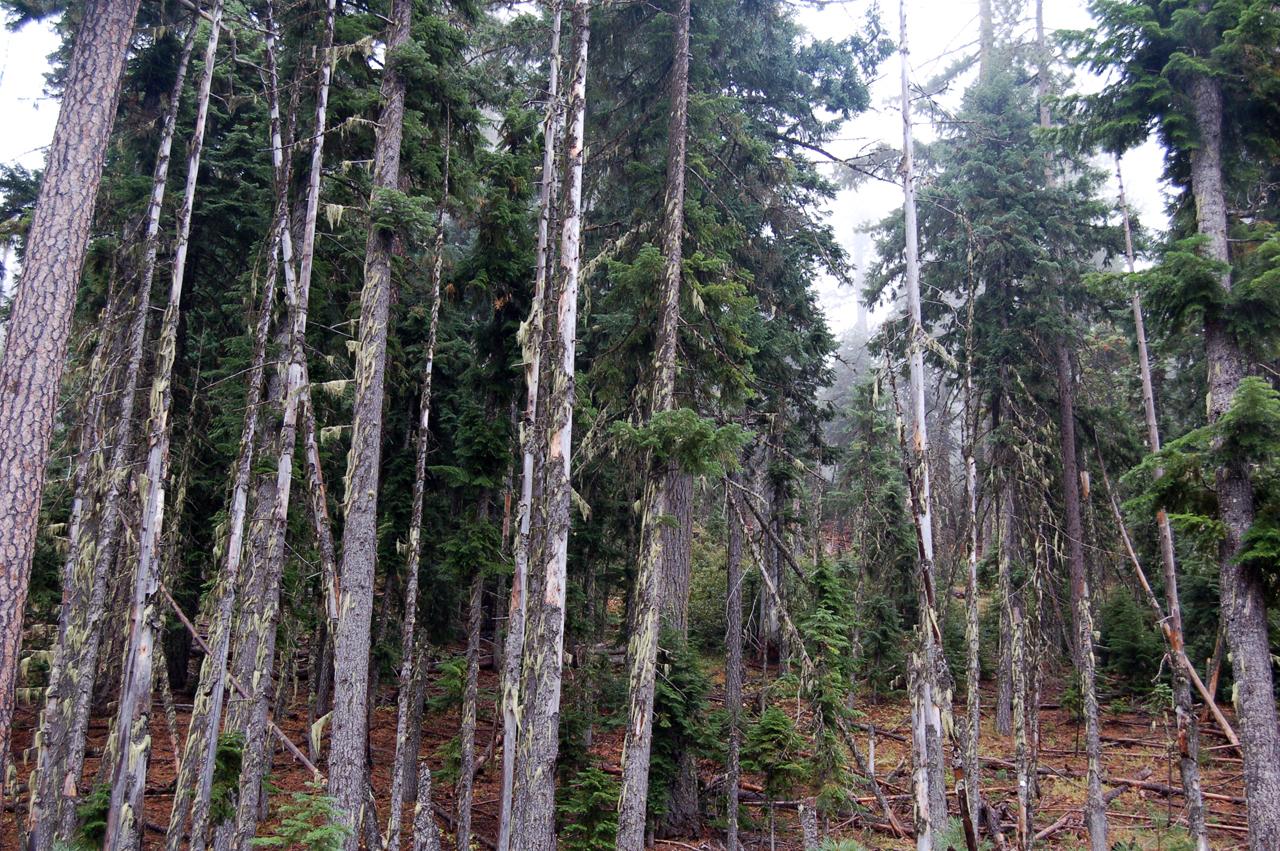23_mckenzie_trees_3
